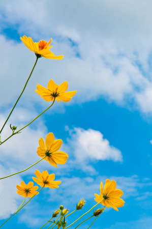 Yellow Cosmos flower and blue sky.