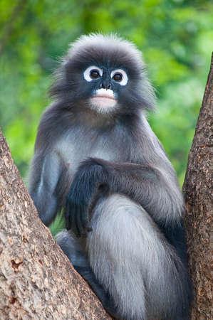 Monkey (Trachypithecus obscurus) sitting on the tree. Stock Photo