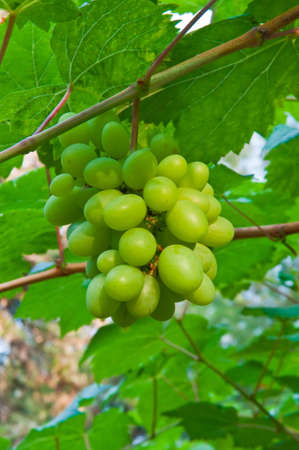 Bunch of green grapes on grapevine in vineyard. photo
