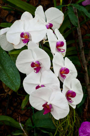 White orchids in the nursery. Stock Photo - 11698980