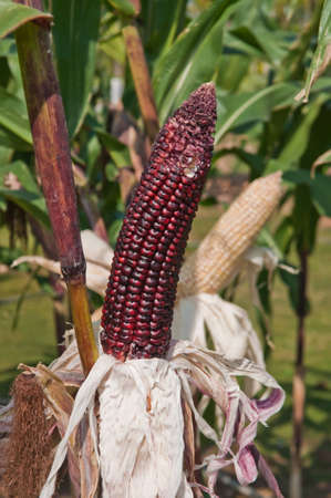 Corn on the stalk in the field. Stock Photo