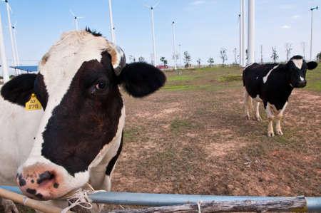 Black and white cows on a farmland.