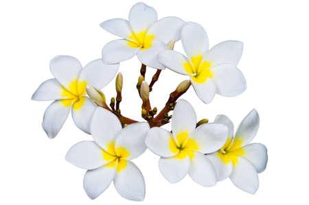 Frangipani flowers isolated on white  Stock Photo - 13377071
