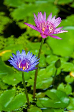 Lotus purple and pink blooming in the pond. Stock Photo - 14236202
