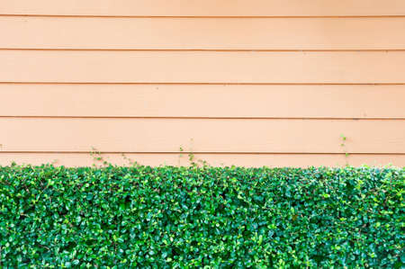 Creeper plant on the wall wood. Stock Photo - 14236262