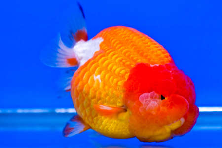 Goldfish in a glass cabinet Stock Photo - 14754785