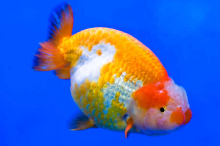 ranchu: Goldfish in a glass cabinet