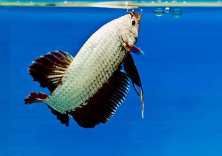 Siamese fighting fish, Betta fish Stock Photo - 14754779