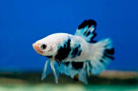 siamese fighting fish: Siamese fighting fish, Betta fish