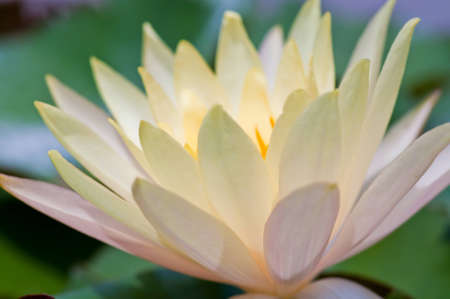 Yellow lotus blooming in the tropical garden.