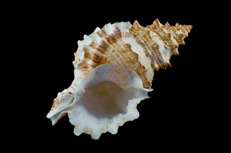 sea shell  isolated on black background