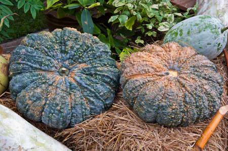 green pumpkin fruit in thailand