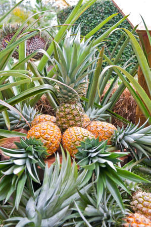 Pineapple, tropical fruit in Thailand