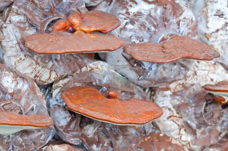 Ganoderma lucidum in the mushroom farm thailand photo