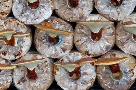 lucidum: Ganoderma lucidum in the mushroom farm thailand