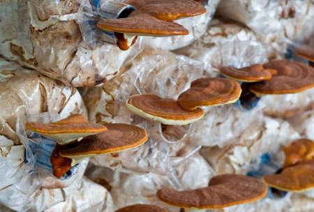 Ganoderma lucidum in the mushroom