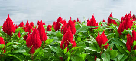Beautiful red flower in the garden. Stock Photo