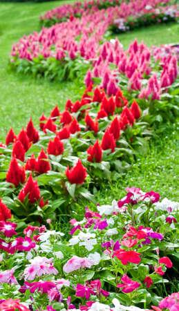 Beautiful cockscomb flowers  in the garden.