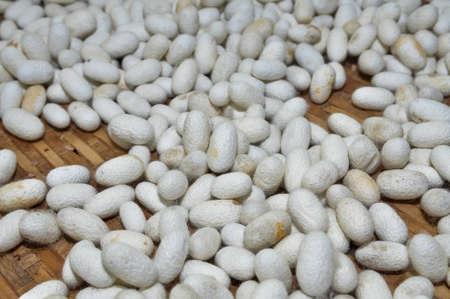 silkworm cocoon many silk worm white