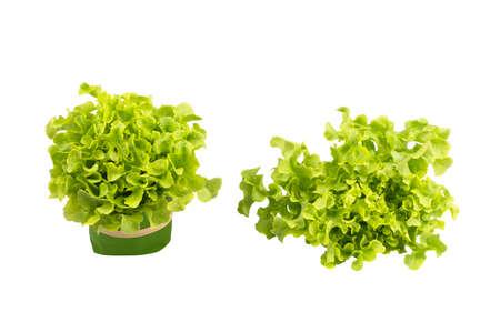 Fresh organic Green Oak vegetables on isolated white background