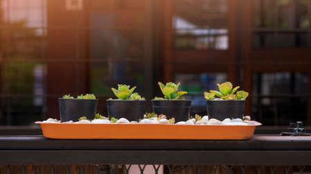 Many little Bryophyllum pinnatum in black plastic pots on black metal fence outside of vintage coffee shop