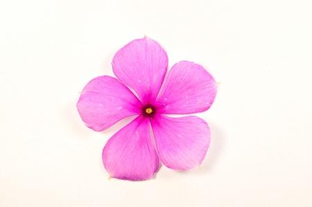 five petals: vinca flower in Thailand on white background