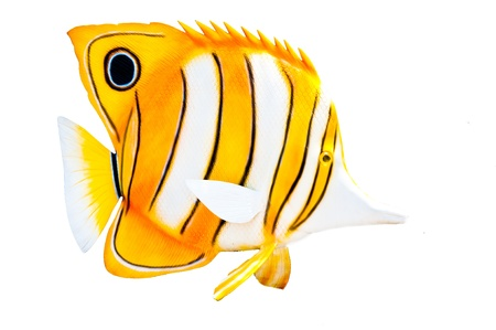 copperband butterflyfish: butterfly fish statue Stock Photo