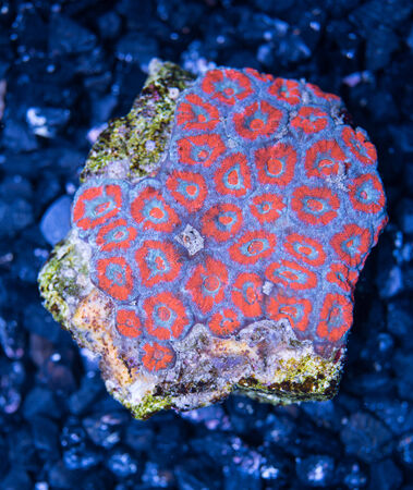 lps: exotic reef red and blue  Acan Brain Coral indopacific
