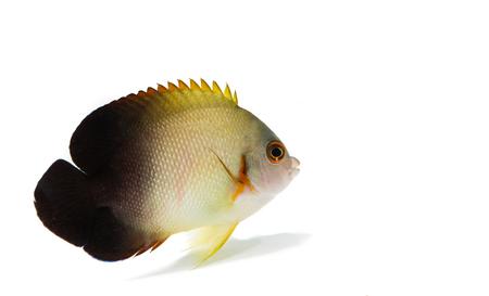 live coral: Half-black angel  marine fish on white background