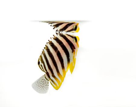 pygoplites diacanthus: Multi bar angel  marine fish on white Stock Photo