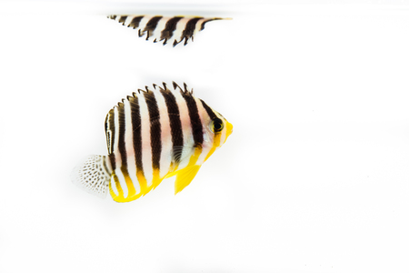 Multi bar angel  marine fish on white Stock Photo