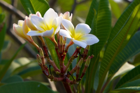 Frangipani in thai Forest photo