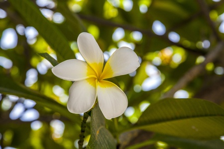 Frangipani with green leaves photo