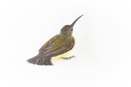 sunbird: Olivebacked sunbird in my hand