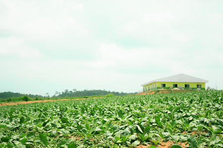 monoculture: Field with sugar beet plants Stock Photo
