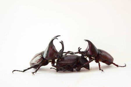 aggressiveness: Stag beetle The Mating Season