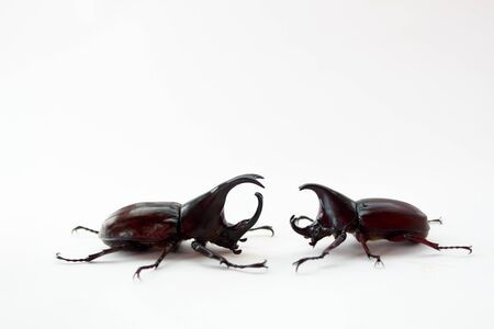 aggressiveness: two deer Beetle fight on a white background