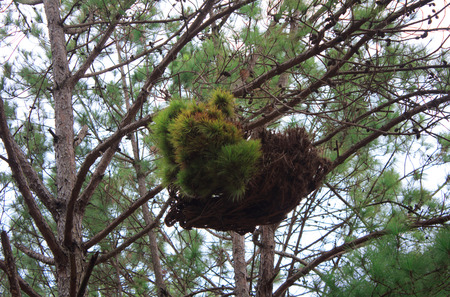 parasitic: Parasitic pine trees in the garden