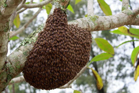 swarm: swarm of many bees on a tree branch help build honeycomb