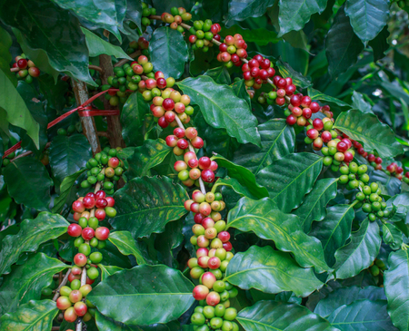 coffee harvest: Coffee - Coffee tree with ripe - Coffee beans on trees