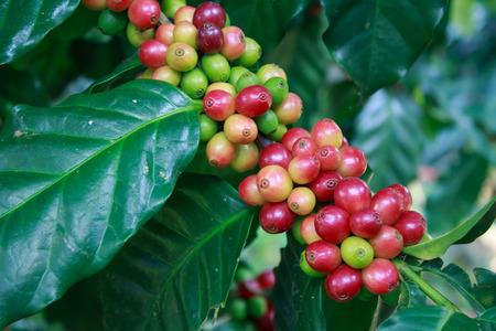 arbol de cafe: Caf� - �rbol de caf� con madura - Granos de caf� en los �rboles