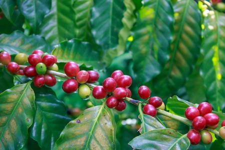 arboles frutales: Café - árbol de café con madura - Granos de café en los árboles