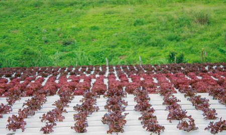 Khaokho のミネラル栄養解決を使用して植物を育てる水耕栽培法