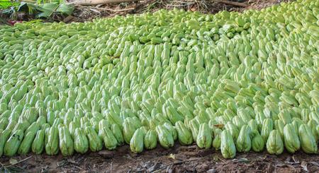 chayote: Green chayote
