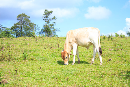 under a tree: brown cow  in a meadow under a tree