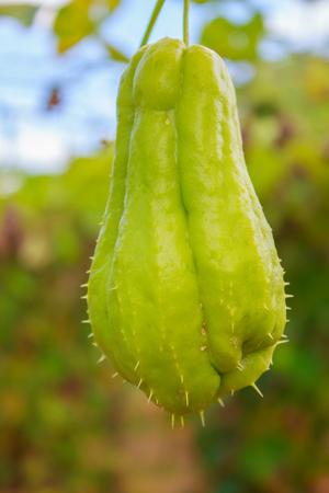 chayote: Chayote chouchou on a plant in farm