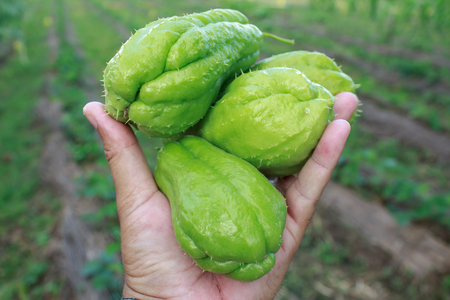 chayote: Chayote being held by a hand and isolated