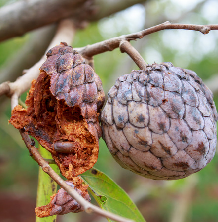 annona: Custard apple on tree Stock Photo