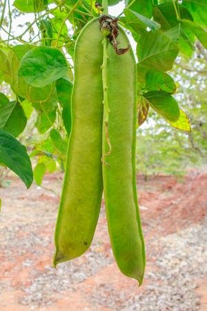 sword beans on the vine