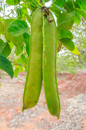 sword beans on the vine
